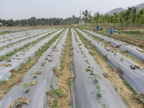 FLD Plot on Poly Mulching in Tomato – Arka Samrat