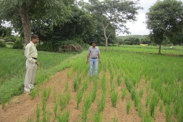 Combating drought vulnerability by Aerobic Paddy Cultivation