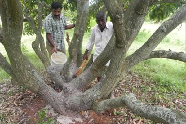 Management of Mango Stem Borer by Sealer cum Healer