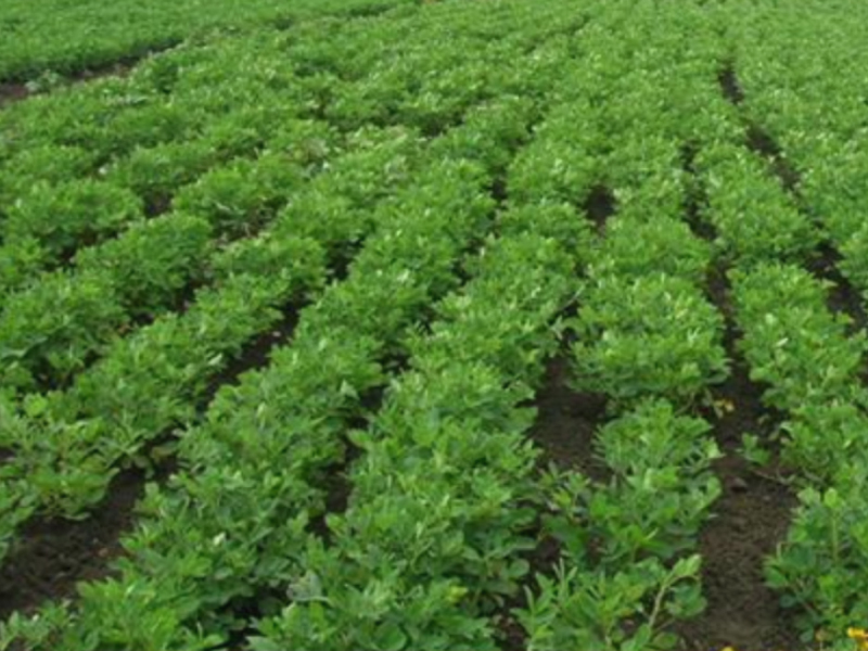 Assessment of Groundnut varieties